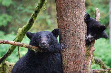 Bears in Anan Wildlife Observatory, Alaska